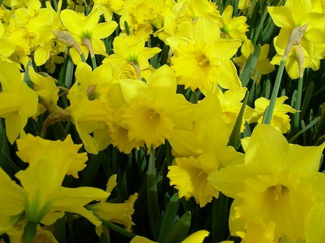 Daffodils, Hyasynths and Tulips
