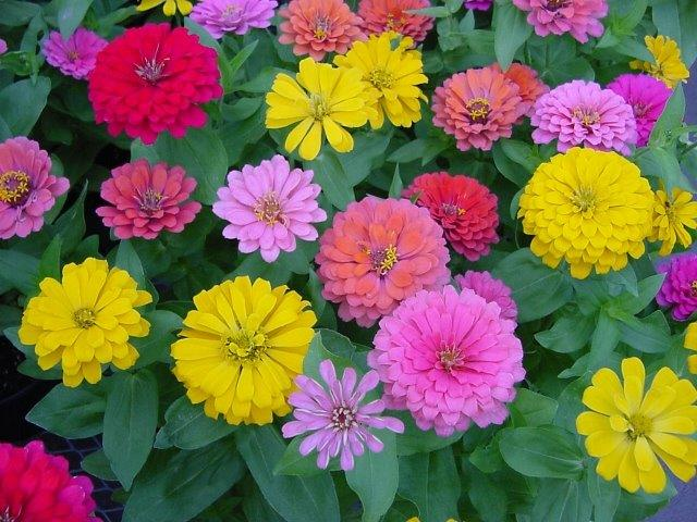 Zinnias in 8 inch pots are $2.99 each, 4 for $10