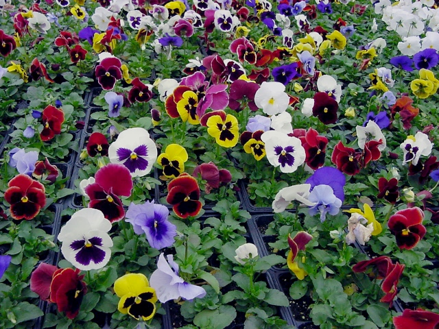 Pansies that can be planted now!