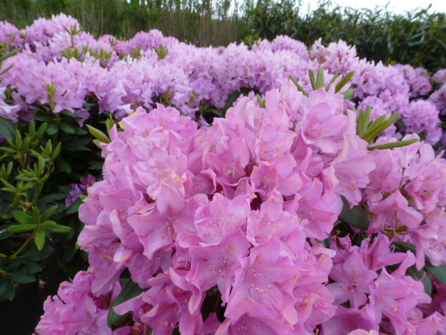 Flowering Shrubs like Rhododendrons and Azaleas