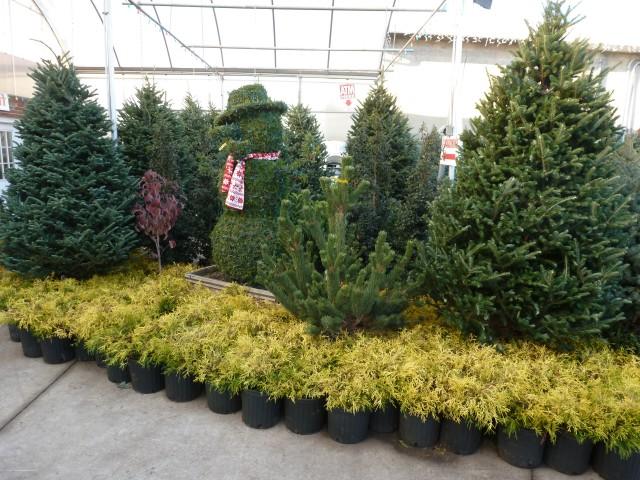 Many types of Christmas trees