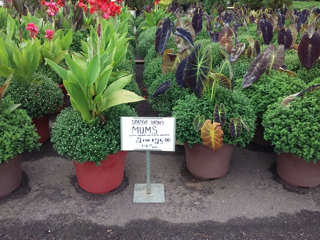Crysanthemums with Canna, Grass or Elephant Ear, $14.99 each, 2 for $25