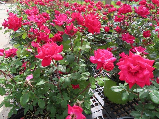 Knock out Roses in 3 gal pots $10.99 ea. 3 for $30