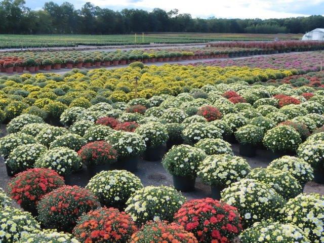 Chysanthemums in Late August